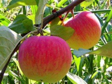 Уход за яблоней Уэлси