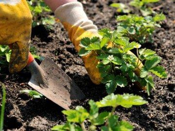 Сроки посадки клубники