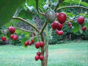 Уход за томатным деревом