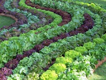 Посадка салата листового