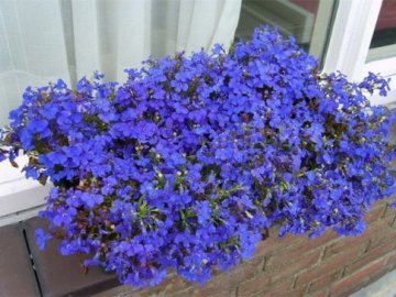 Лобелия ампельная: описание растения
