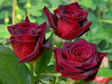 Популярные сорта роз для сада: описание и преимущества