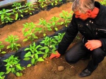 Основные правила выращивания перца в теплице