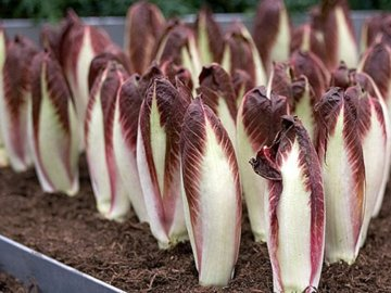 Выращивание салата: размножение и посадка