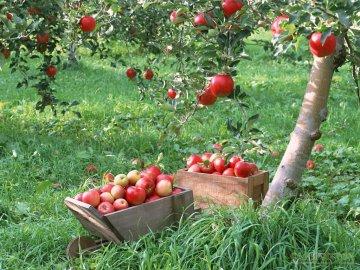 Лучшие сорта яблонь для сада, их особенности