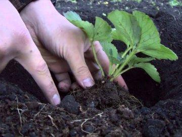 Агротехника посадки