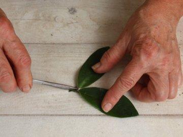 Способы размножения цветка