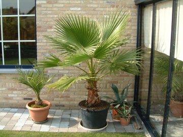 Вашингтония нитчатая - знакомство с пальмой