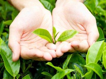 Как правильно собирать урожай и готовить чай