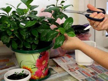 Размножение и посадка комнатного цветка