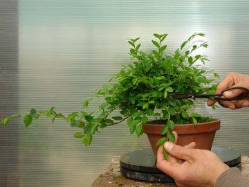 Правила формирования кроны миниатюрного дерева
