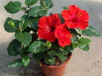 Условия выращивания китайской розы