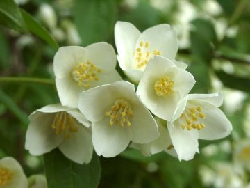 Жасмин садовый - кустарник цветущий весной