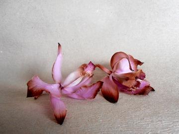 Почему орхидея сбрасывает цветы