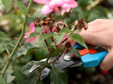 Обрезка роз весной и осенью - сроки и правила