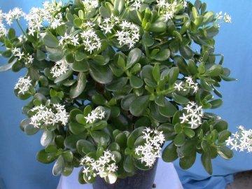 Описание и условия выращивания комнатного растения