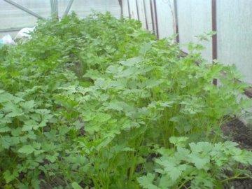 Правильное выращивание петрушки