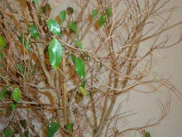 Опадают листья у фикуса Бенджамина