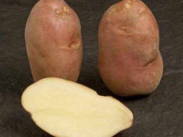 """Сорт картофеля """"Кондор"""""""