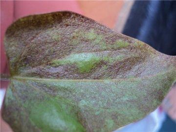Чернеют листья – причины: болезни