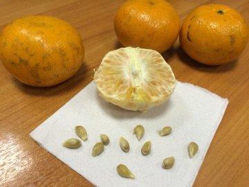 Способы размножения цитрусовой культуры
