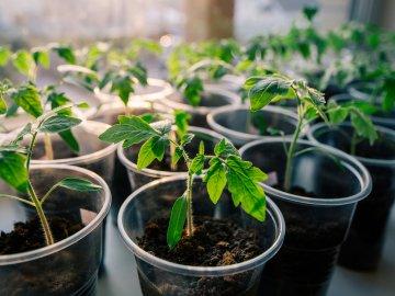 Как правильно выращивать рассаду?