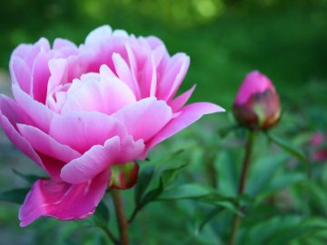Когда цветут пионы?