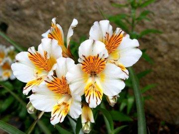 Альстромерия выращивание из семян 442