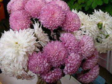 Как оживить увядшие хризантемы?