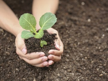 Правила посадки рассады в грунт