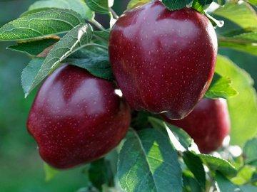 Описание сорта яблони Черный принц