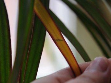 Желтеют листья после пересадки