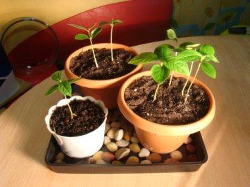 Высаживание косточки персика