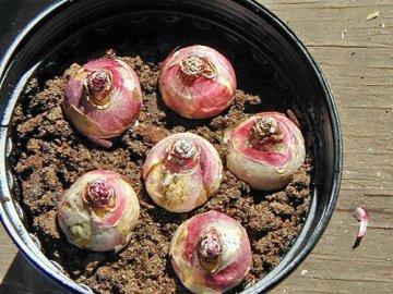 Сроки и правила посадки луковиц