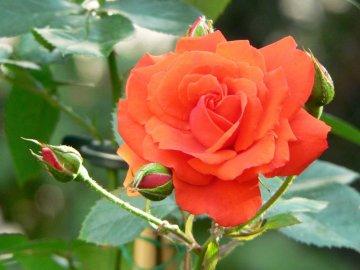 Сорта роз, подходящие для сушки