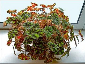 Уход за декоративно-лиственной бегонией в домашних условиях