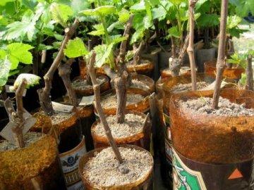 Черенкование винограда в бутылках