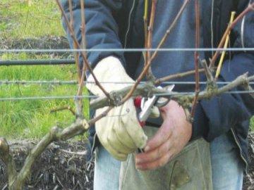 Обрезка винограда Илья