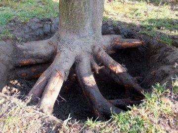 Как выкорчевать корни деревьев