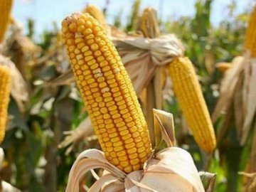 Уход за кукурузой на даче