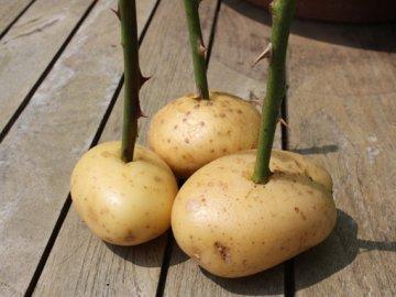Метод укоренения роз в картошке