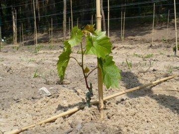 Особенности посадки винограда
