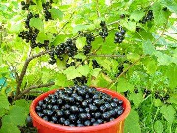 Плодовые кустарники для дачи