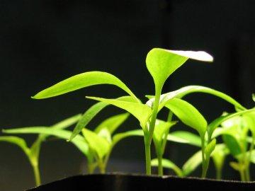 Проращивание рассады хосты из семян