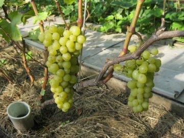 Уход за виноградом Тукай