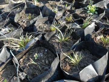 Размножение и выращивание сисюринхия