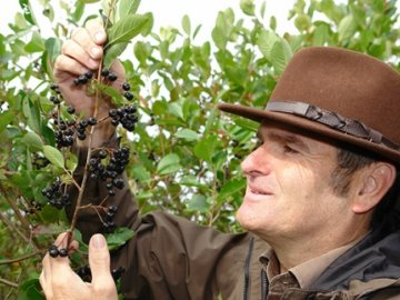 Как ухаживать за черноплодной рябиной