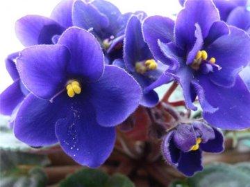 Как обеспечить цветение комнатной фиалки