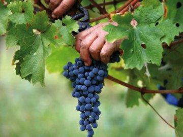 Способы хранения гроздей винограда