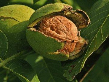 Особенности строения грецкого ореха